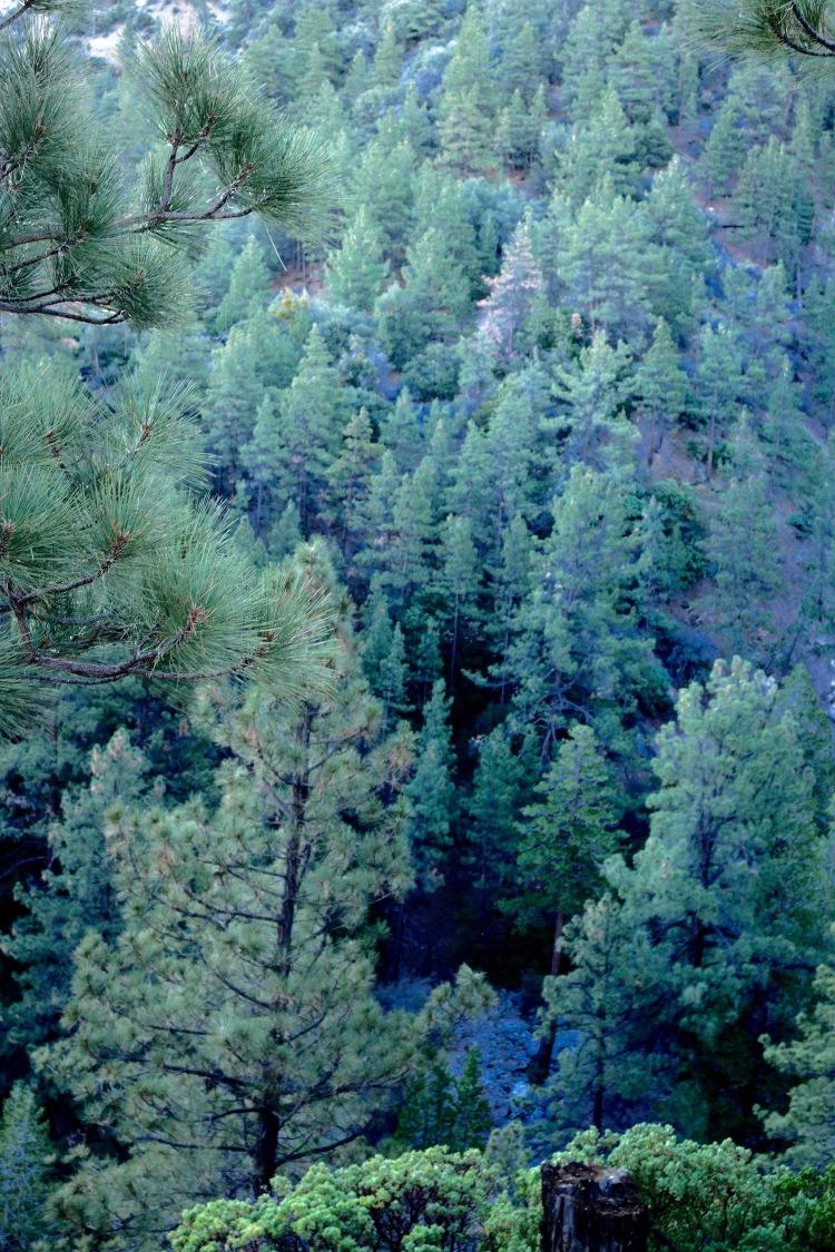 shaikh_landscape_pines